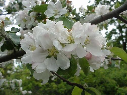 hedelmäpuiden kevätruiskutus